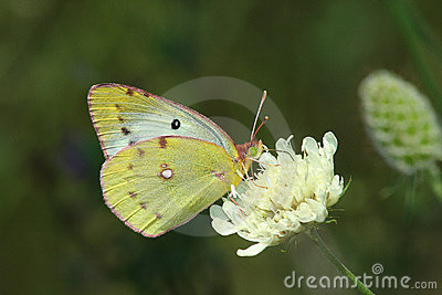 Day butterfly (Colias hyale)