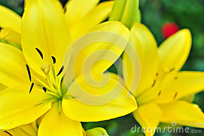 Day Lily Royalty Free Stock Image - Image: 25644476