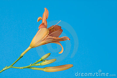 Day lily blooms against a blue sky