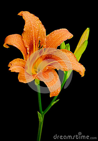 Day-lily isolated on black background close up
