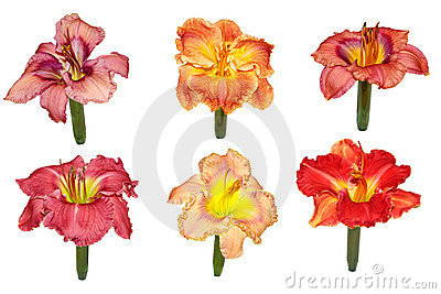 Daylily Display