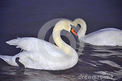 Dazzling white swans couple at night sea