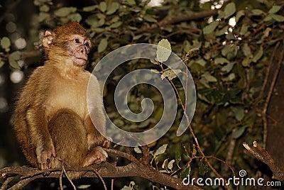 De Aap van Barbarije (Macaca-sylvanus) in cederhout dichtbij