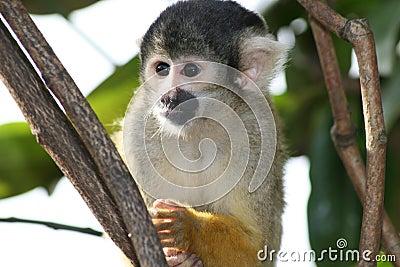 De aap van de eekhoorn