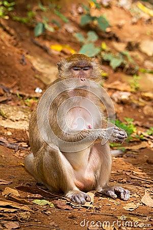 De aap van Macaque in widelife