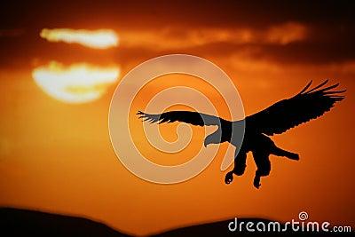 De adelaar van de zonsondergang