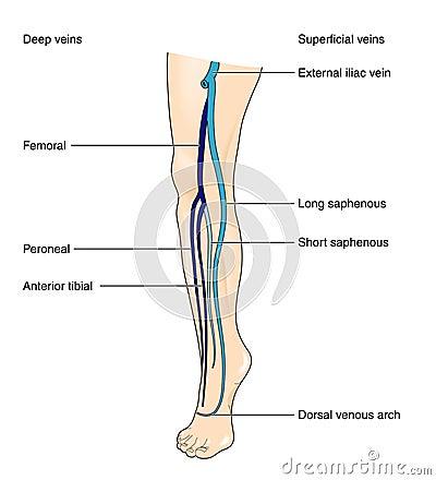 De aders van het been
