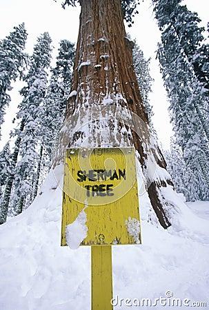 De algemene Boom van de Californische sequoia Sherman