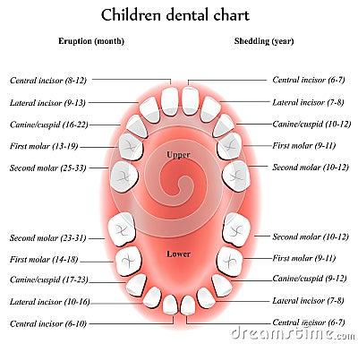 De anatomie van de Tanden van kinderen