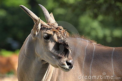 De antilope van de elandantilope