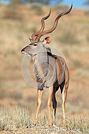 De antilope van Kudu