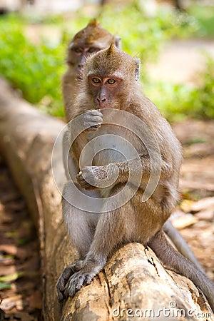 De apen van Macaque op de tak