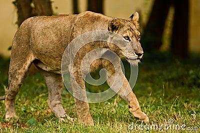 De Aziatische leeuwin op snuffelt rond