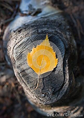 De berkblad van de herfst op stomp