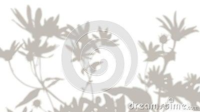 De beweging van de schaduw van de madeliefjes bloemen op een witte achtergrond Een levende schaduw Zwart-wit beeld voor foto stock footage