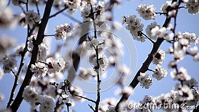 De bij bestuift boombloemen De lente Zonnige dag nave Sluit omhoog Het wordt verwijderd in beweging stock videobeelden