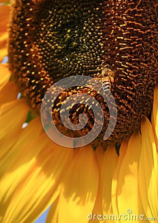 De Bij van de zonnebloem