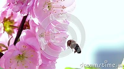 De bij verzamelt nectar Sluit omhoog Langzame Motie