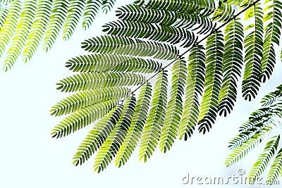 De bladeren van Albizzia