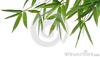 De bladeren van het bamboe