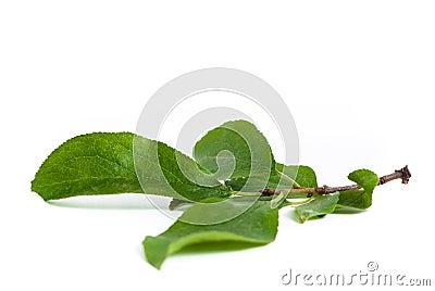 De bladerenbrunch van de pruim