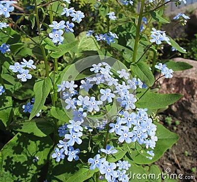 De blauwe bloemen van Brunnera