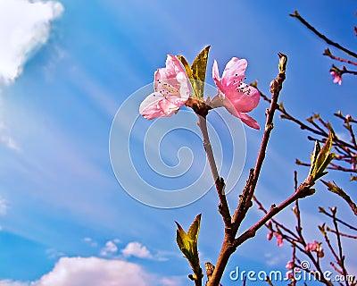 De bloei van de perzik