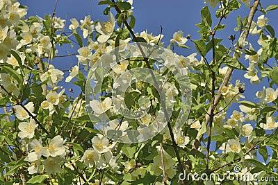 De bloeiende jasmijn van bush stock foto afbeelding 55281865 - Bush architectuur ...