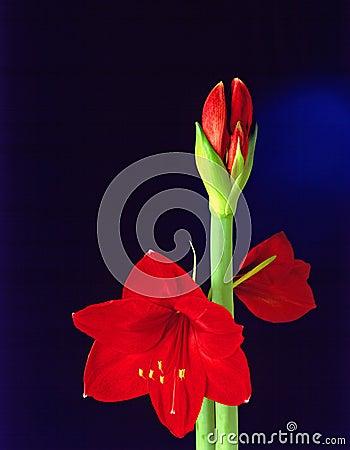 De bloem van Amarillis