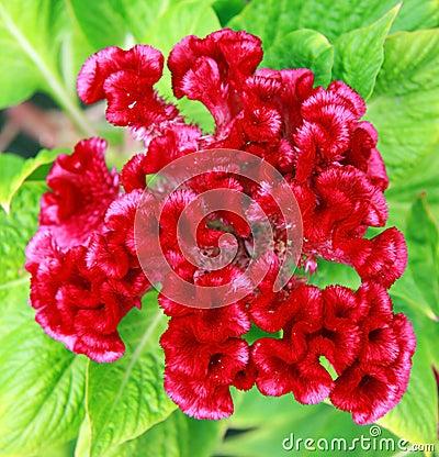 De bloem van de hanekam