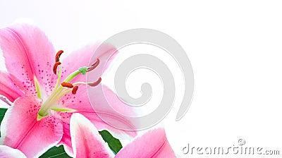 De bloem van de lelie