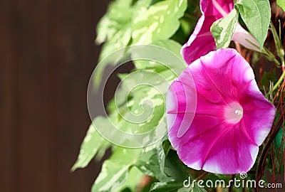 De bloem van de ochtendglorie