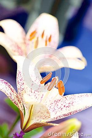De bloem van Lilly
