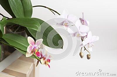 De bloemen van de orchidee