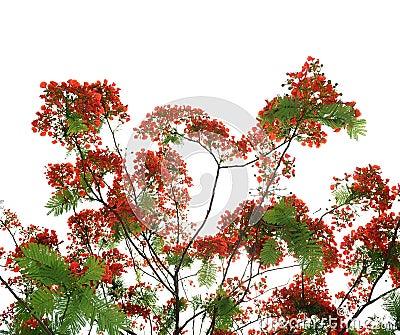 De bloemen van de pauw