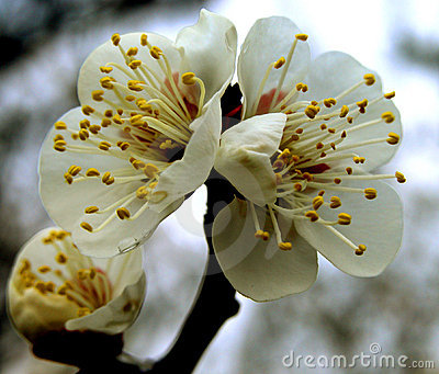 De bloemen van de pruim