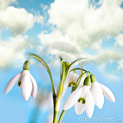 De bloemen van het sneeuwklokje