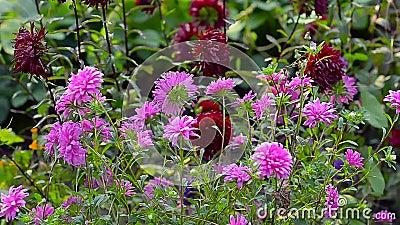 De bloemen zijn rood, geel, purper, roze De wind schommelt de kleurrijke bloemen in de de zomertuin stock footage