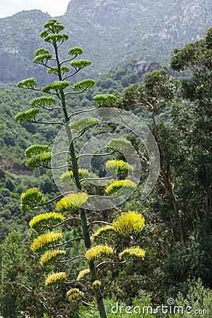 De bloesem van de agave