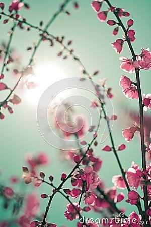 De bloesem van Sakura