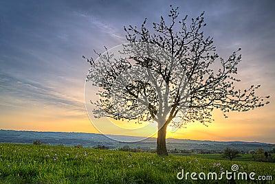 De bloesemboom van de kers bij zonsondergang royalty vrije stock foto 39 s afbeelding 23443568 - Romanian cherry tree varieties ...
