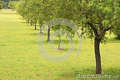 De bomen van de amandel