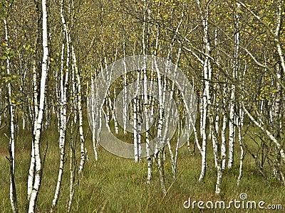 De bomen van de berk