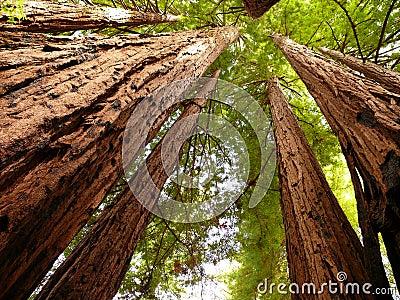 De bomen van de Californische sequoia