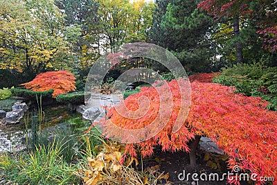 De bomen van de esdoorn in Japanse tuin