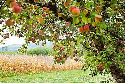 De bomenboomgaard van de appel