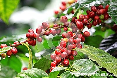 De bonen die van de koffie op boom in het noorden van thailand rijpen