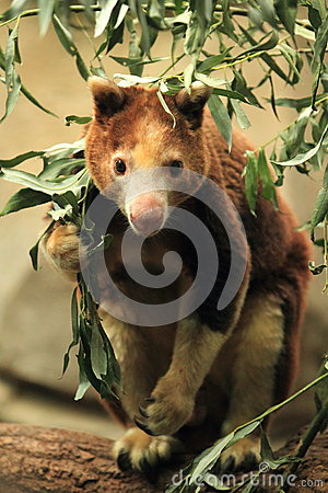 De boom-kangoeroe van Huon