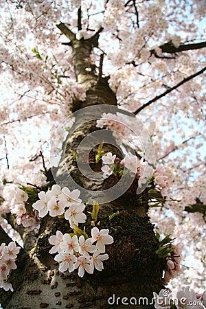 De boom van de bloesem