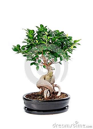 De boom van de bonsai